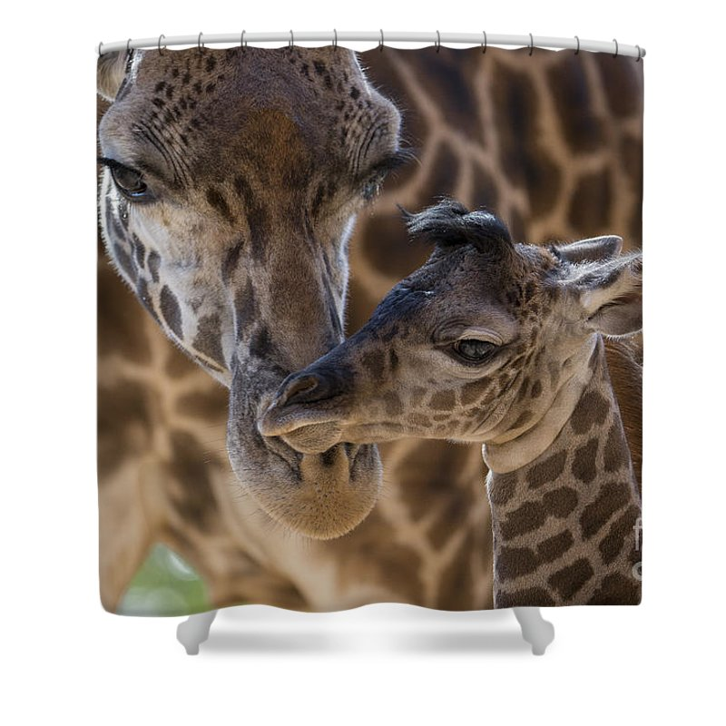 San Diego Zoo Shower Curtain featuring the photograph Masai Giraffe And Calf by San Diego Zoo