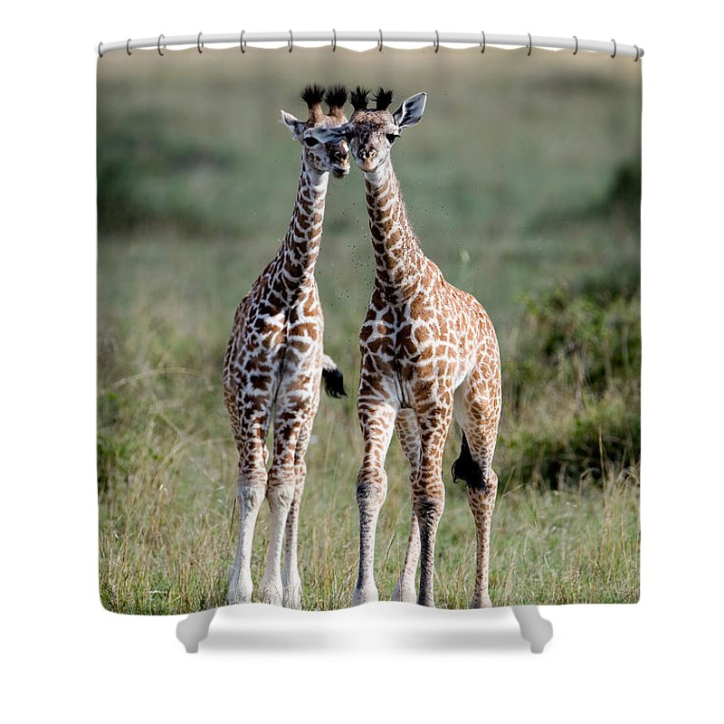 Photography Shower Curtain featuring the photograph Masai Giraffes Giraffa Camelopardalis by Panoramic Images