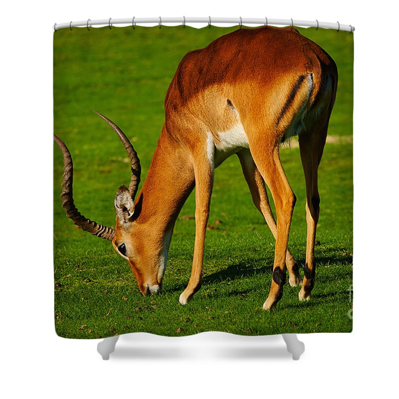 Closeup Shower Curtain featuring the photograph Mature Male Impala On A Lawn by Nick Biemans