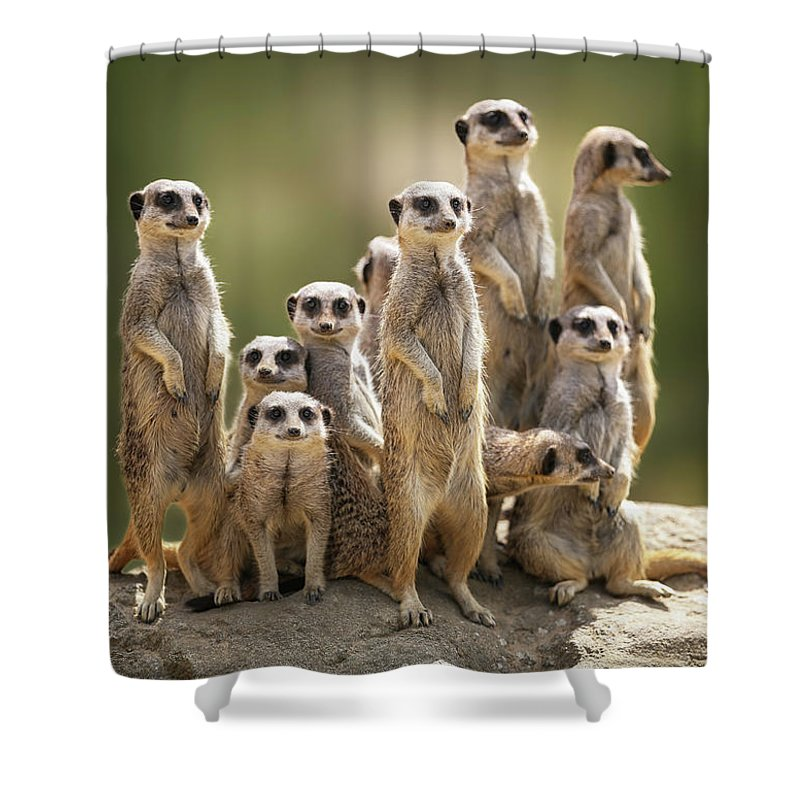 Scenics Shower Curtain featuring the photograph Meerkat Family On Lookout by Kristianbell