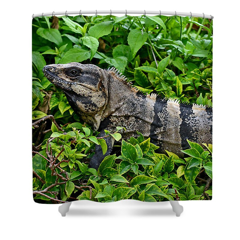 Mexican Shower Curtain featuring the photograph Mexican Spinytailed Iguana by Rebecca Morgan