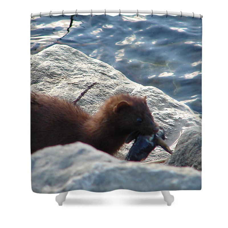 American Mink Shower Curtain featuring the photograph Mink with a Round Goby by Randy J Heath