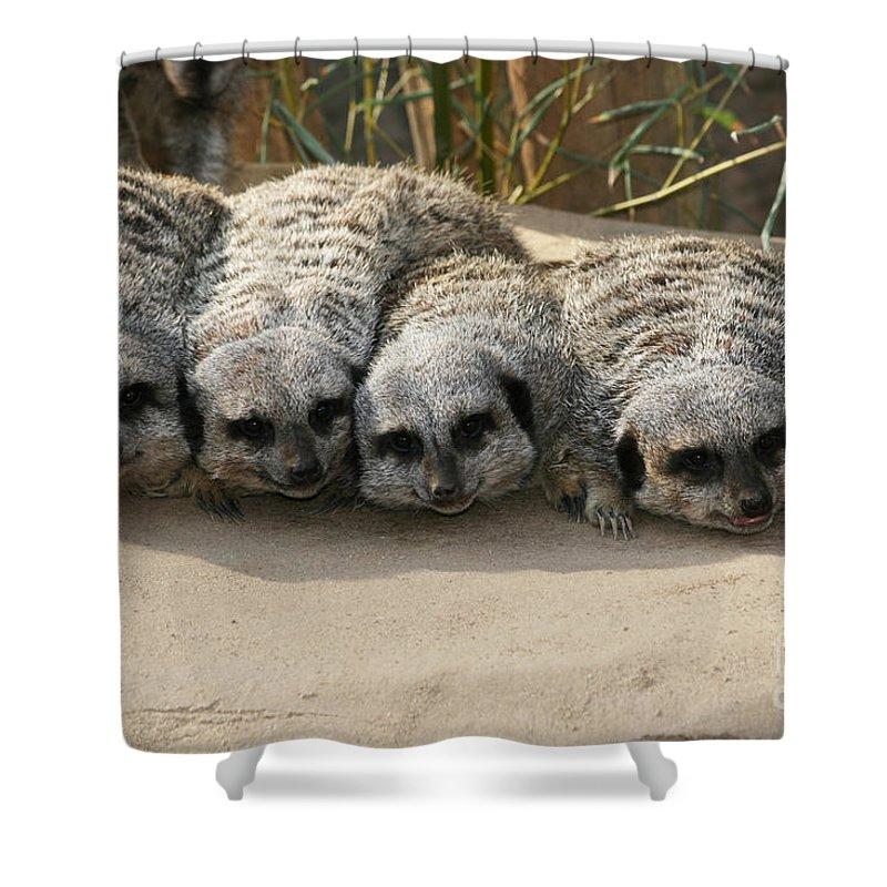 Meerkat Shower Curtain featuring the photograph Mischievous Meerkats by Judy Whitton