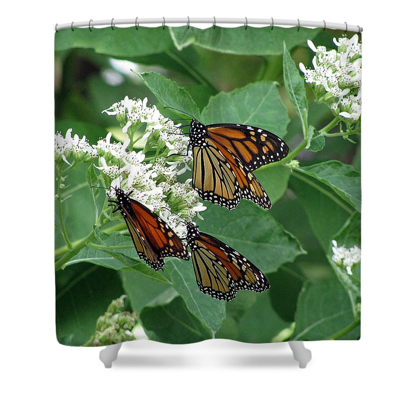 Butterfly Shower Curtain featuring the photograph Monarch Butterfly 63 by Pamela Critchlow