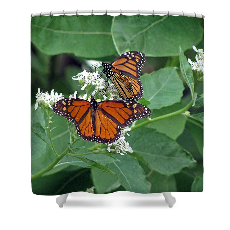 Butterfly Shower Curtain featuring the photograph Monarch Butterfly 68 by Pamela Critchlow