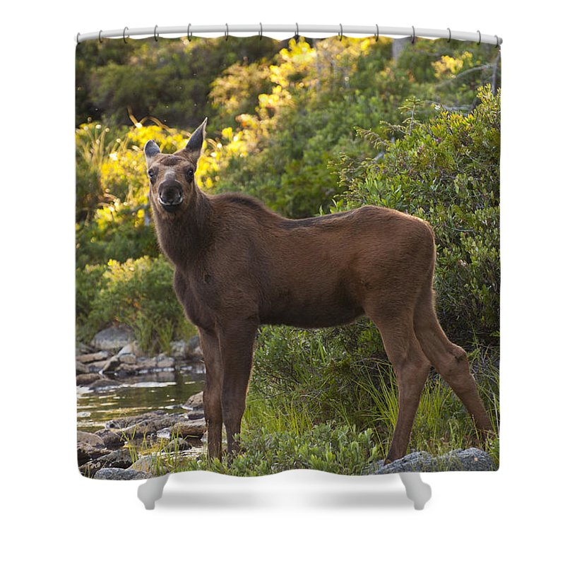 Moose Shower Curtain featuring the photograph Moose Baby Sniffing Morning Air by Glenn Gordon