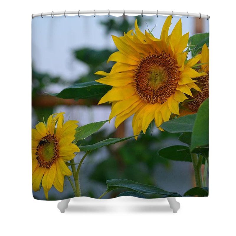 Morning Field Of Sunflowers Shower Curtain featuring the photograph Morning Field Of Sunflowers by Maria Urso