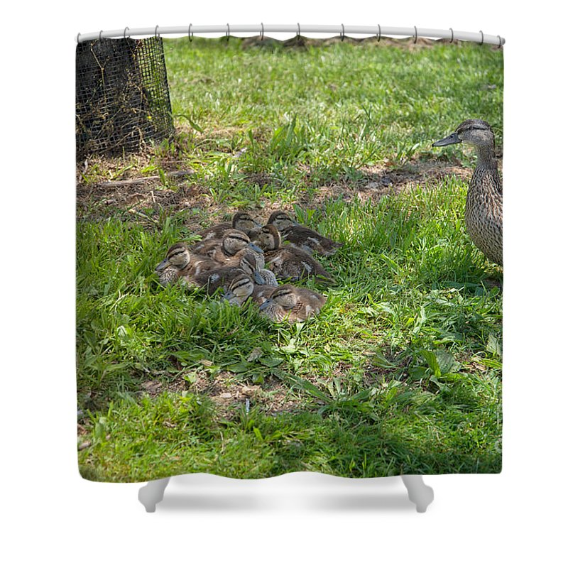 Anas Platyrhynchos Shower Curtain featuring the digital art Mother Duck With Nest by Carol Ailles