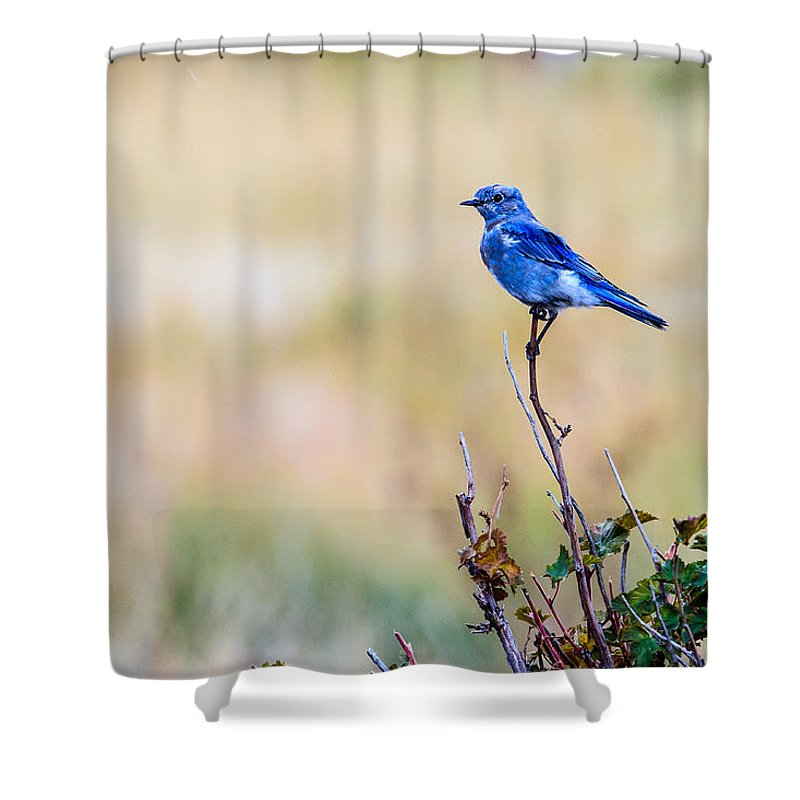 Mountain Bluebird Shower Curtain featuring the photograph Mountain Bluebird by Ben Graham