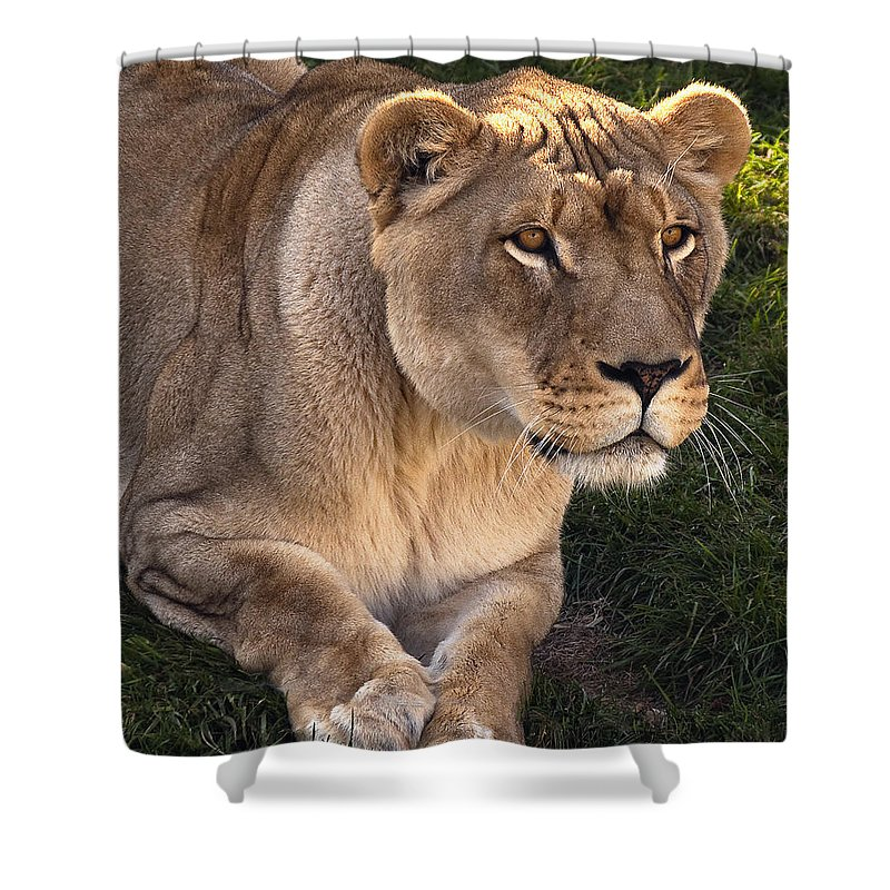 Lion Shower Curtain featuring the photograph Moving In by Steve Harrington