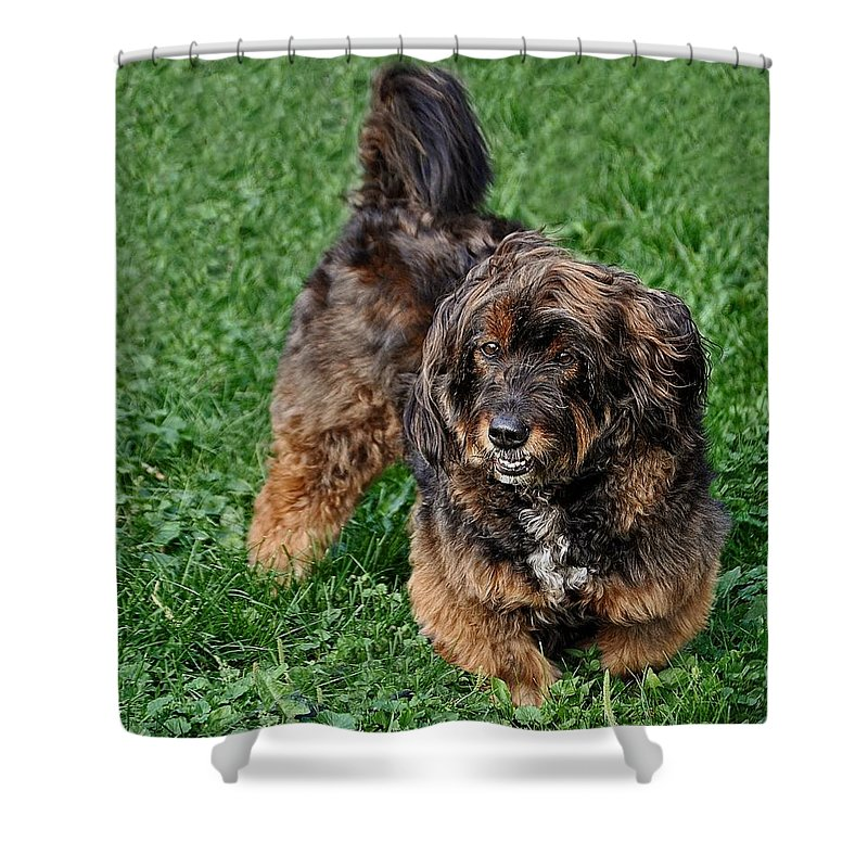 Corkie Shower Curtain featuring the photograph My Dog Corkie by Chris Fleming