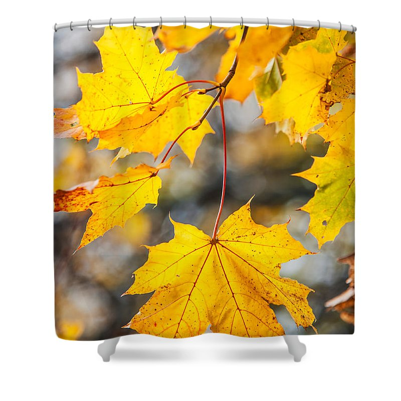 Autumn Shower Curtain featuring the photograph Natural Patchwork. Golden Mable Leaves by Jenny Rainbow
