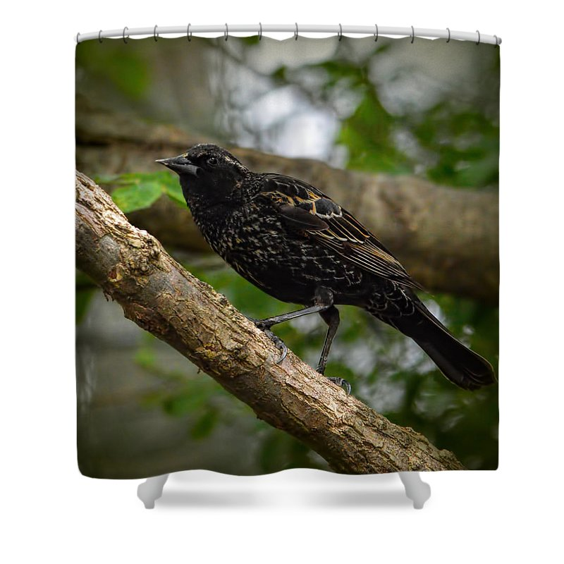 Blackbird Shower Curtain featuring the photograph Red Winged Blackbird - New Heights - 06.04.2014 by Jai Johnson