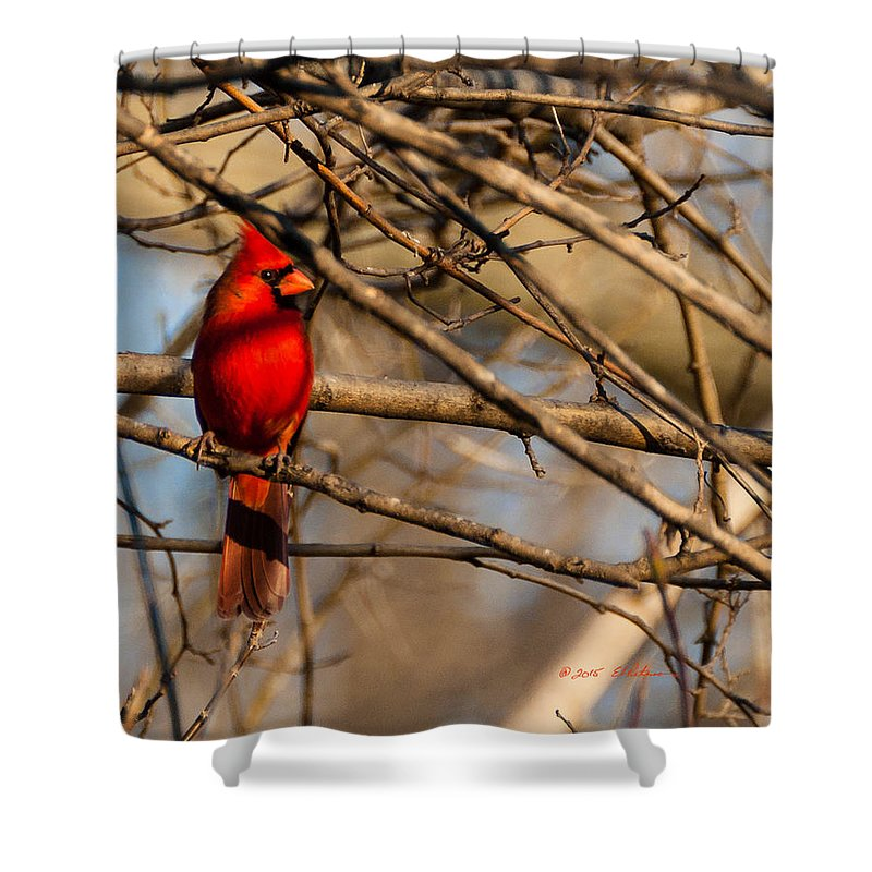 Winter Scene Shower Curtain featuring the photograph Northern Cardinal by Edward Peterson