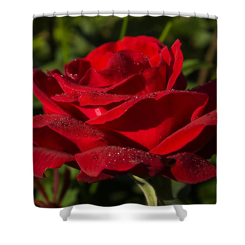 Red Rose Shower Curtain featuring the photograph Of Red Roses And Diamonds by Georgia Mizuleva