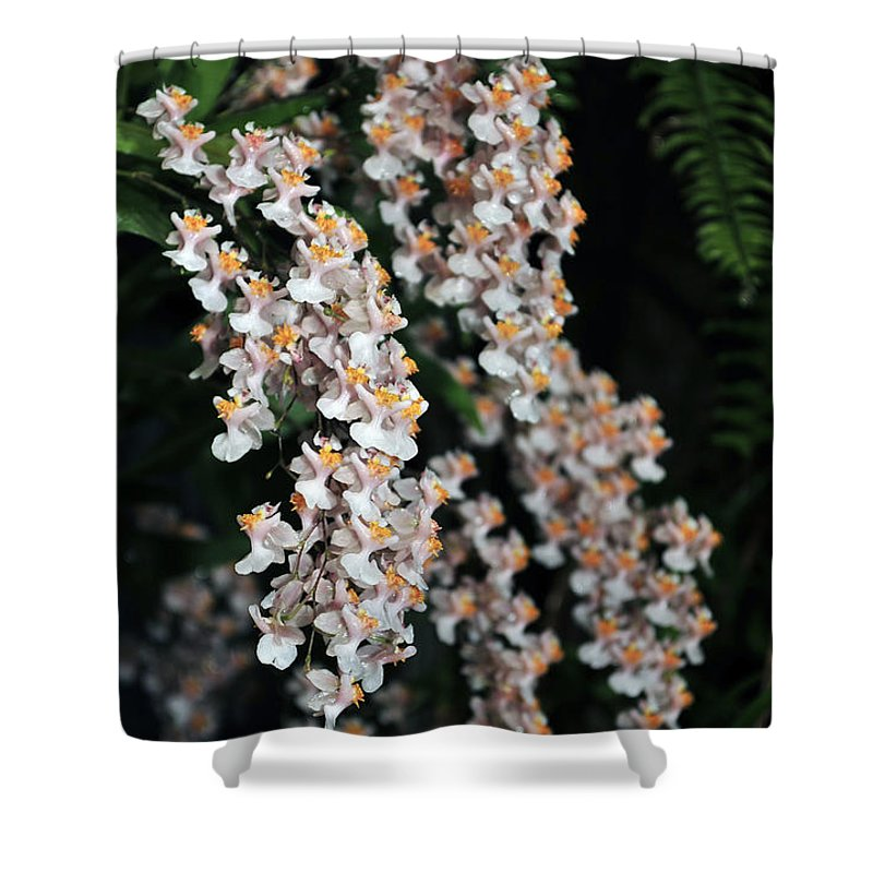Pink Orchid Shower Curtain featuring the photograph Oncidium Twinkle Fragrance Fantasy by Terri Winkler
