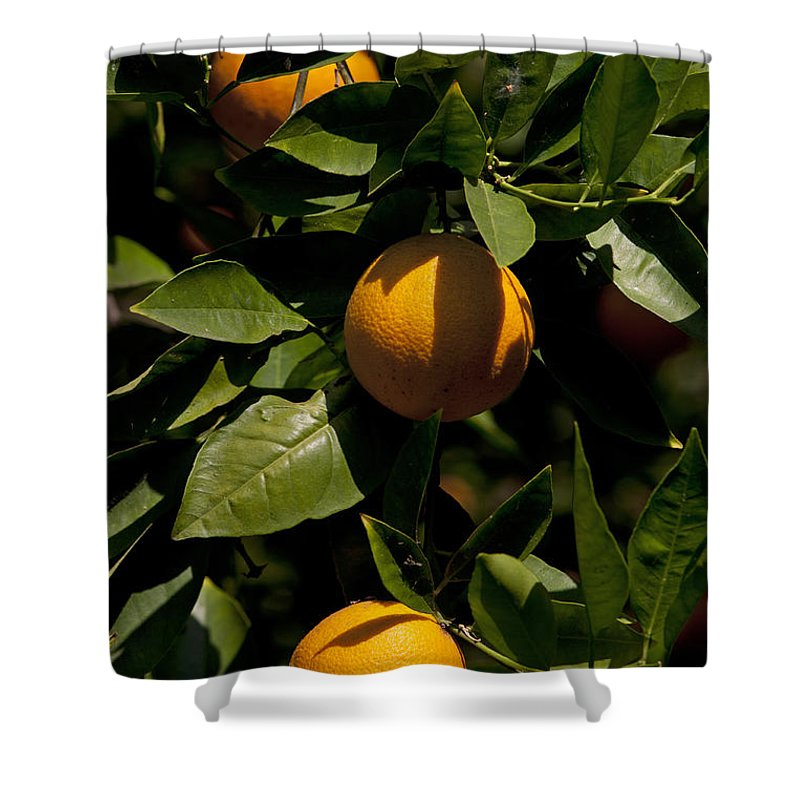 Orange Tree Shower Curtain featuring the photograph Orange Tree by Jason O Watson