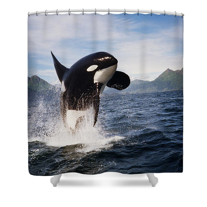 Orca Shower Curtain featuring the photograph Orca Breach by Richard Johnson