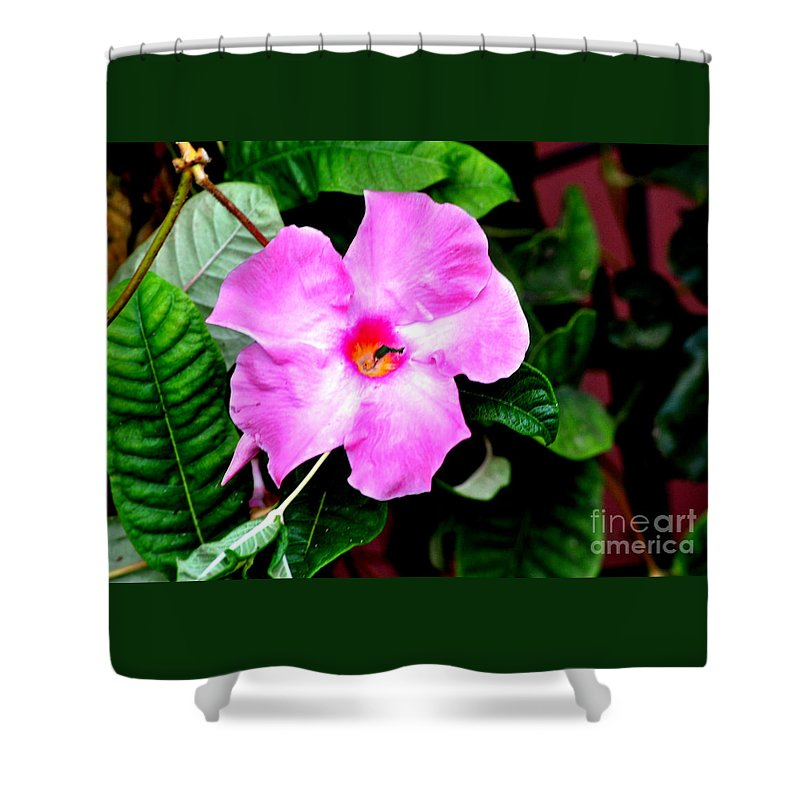 Flower Shower Curtain featuring the photograph Orchard Colored Mandevilla by Jay Milo