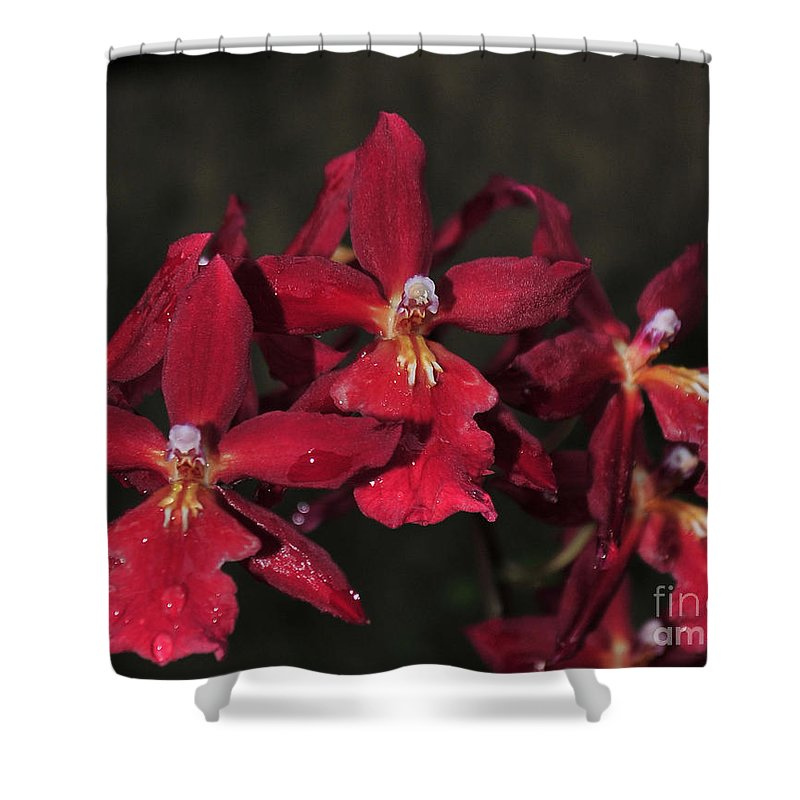 Red Orchid Shower Curtain featuring the photograph Orchid Red Burrageara Living Fire Glowing Ember by Terri Winkler