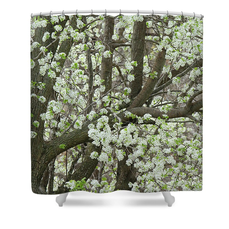 Pear Tree Shower Curtain featuring the photograph Oriental Pear Tree by Bonnie Willis