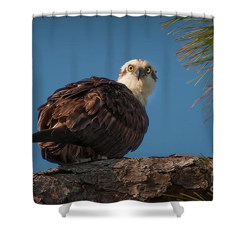 Osprey Shower Curtain featuring the photograph Osprey In Pine 3 by Photos By Cassandra