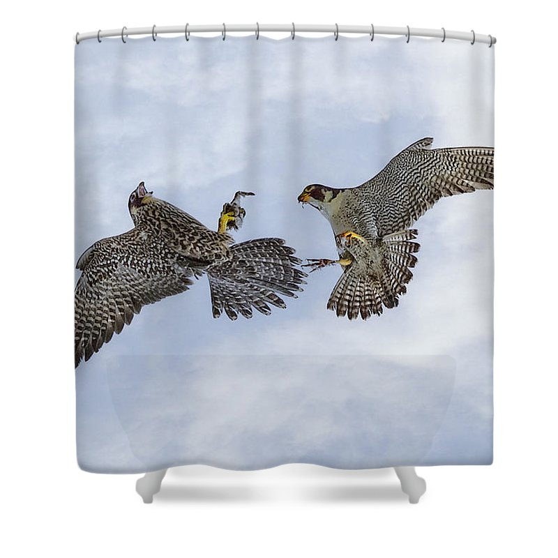 Bird Shower Curtain featuring the photograph Young Peregrine Falcon And Ma Share In The Air by Leslie Reagan - Joy To The Wild Photos