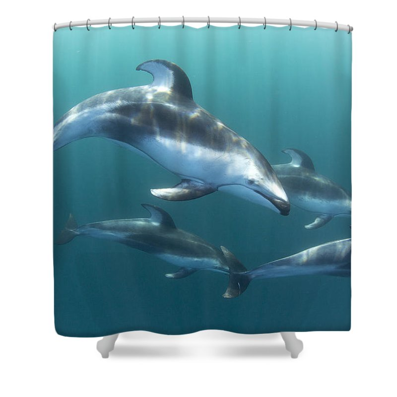 534184 Shower Curtain featuring the photograph Pacific White-sided Dolphin Pod At Nine by Richard Herrmann