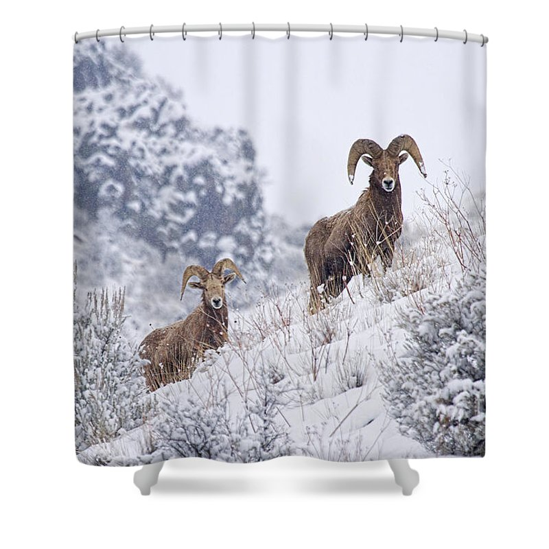 Ram Shower Curtain featuring the photograph Pair Of Winter Rams by Mike Dawson
