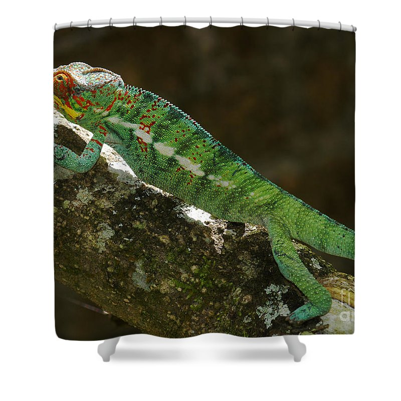 Nature Shower Curtain featuring the photograph panther chameleon from Madagascar 5 by Rudi Prott