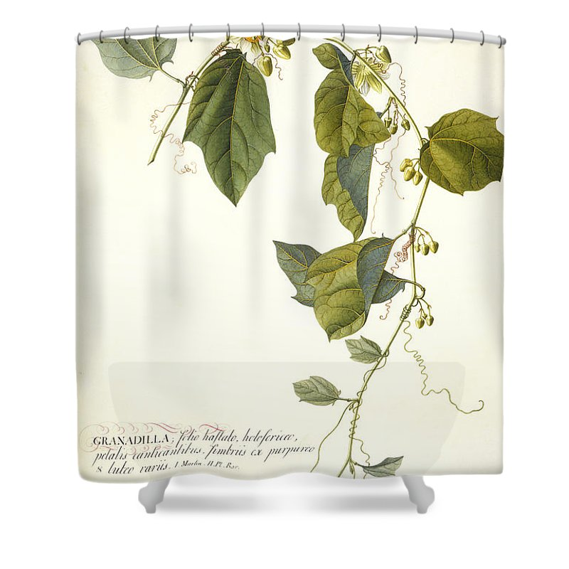 Ehret Shower Curtain featuring the painting Passion Flower by Georg Dionysius Ehret
