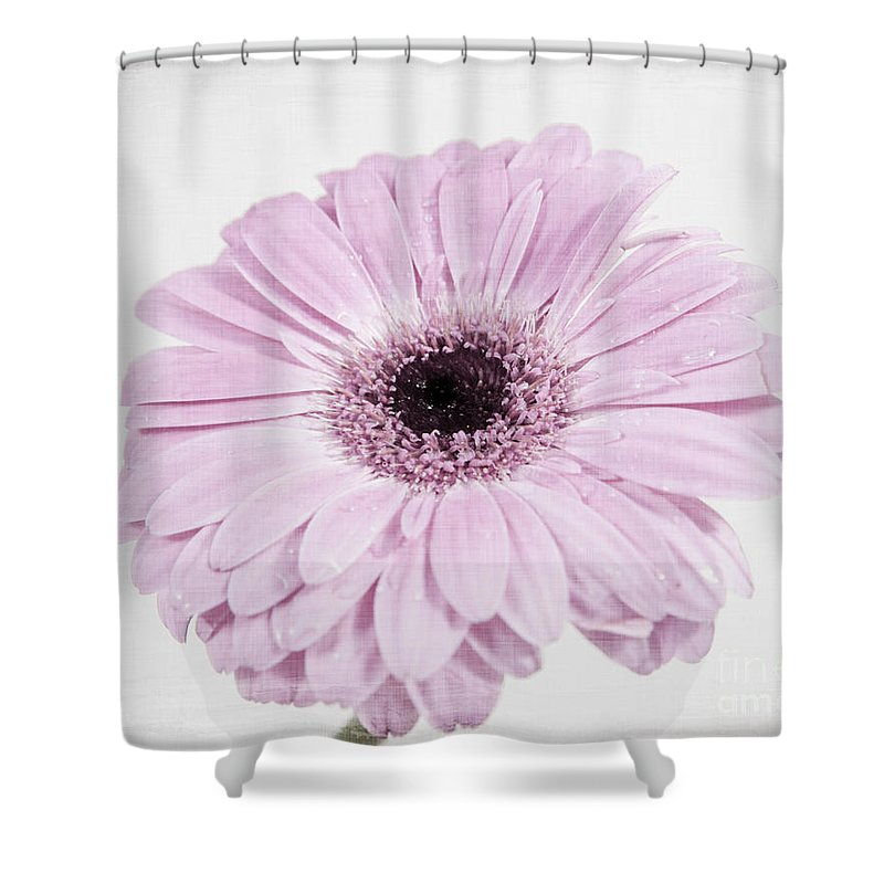 Gerbera Shower Curtain featuring the photograph Pastel Purple Gerbera by Lucid Mood