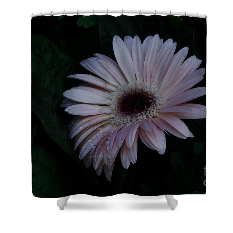 Flower Shower Curtain featuring the photograph Peach Gerba Daisy by Donna Brown