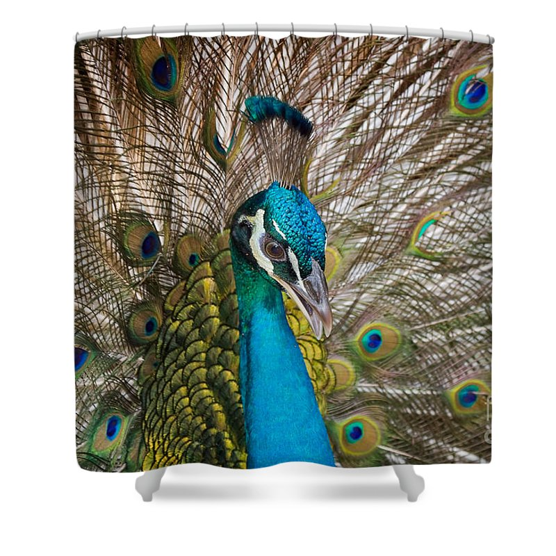 Peacock Shower Curtain featuring the photograph Peacock by Louise Heusinkveld