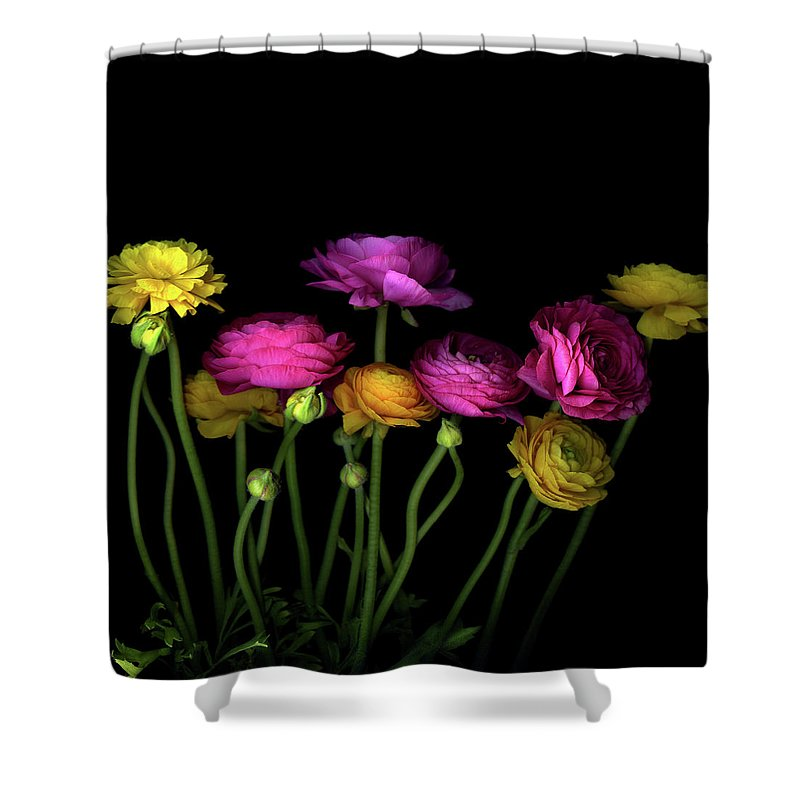 Black Background Shower Curtain featuring the photograph Persian Buttercups Ranunculus Asiaticus by Photograph By Magda Indigo