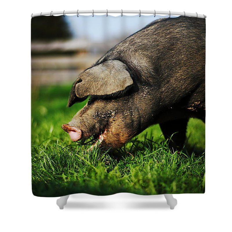 Pig Shower Curtain featuring the photograph Pig Eating by Jimss