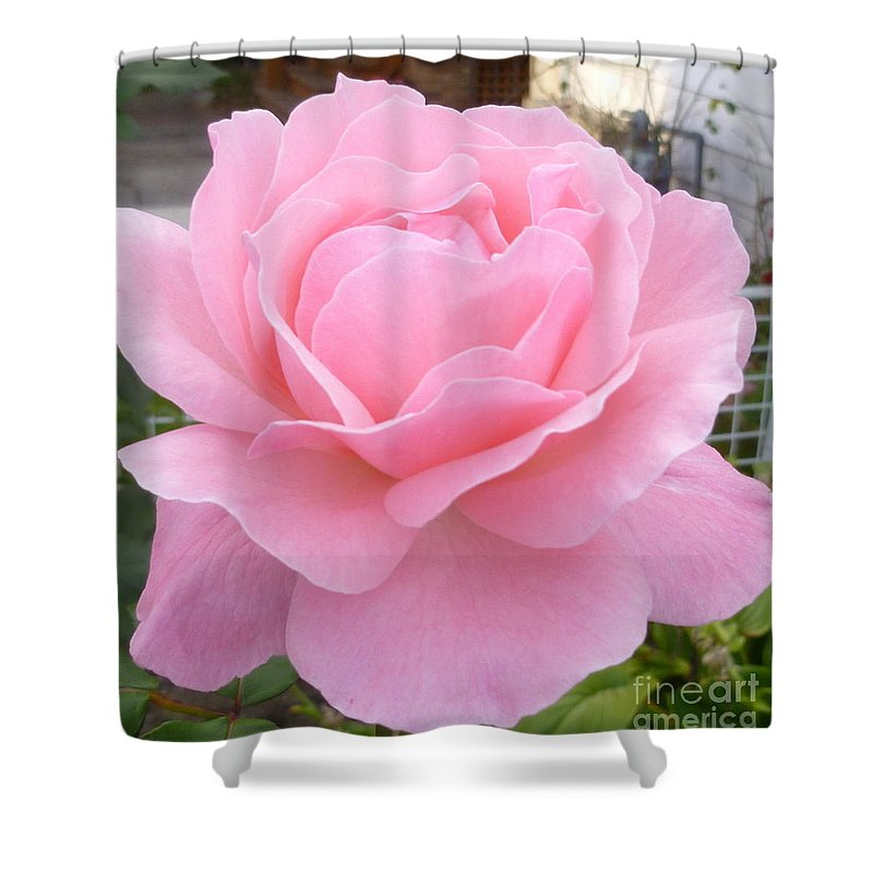 Rose Photograph Shower Curtain featuring the photograph Pink Lady by Lingfai Leung