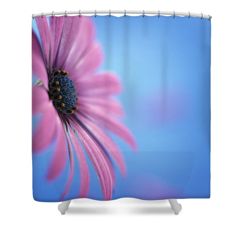 Nature Shower Curtain featuring the photograph Pink Osteospermum Flower On Blue by Pearl Bucknall