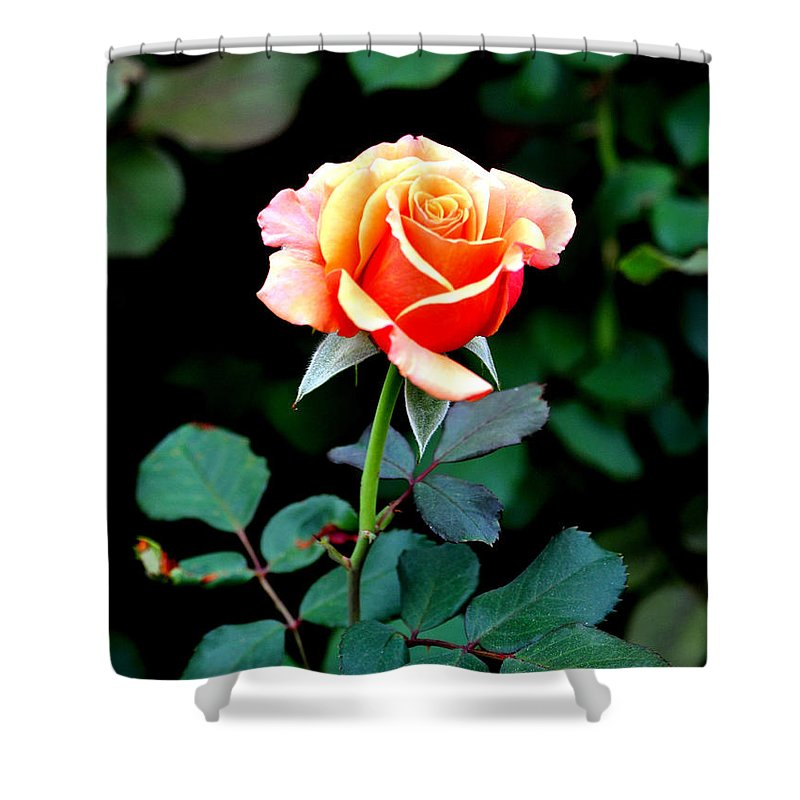Rose Shower Curtain featuring the photograph Pinkish Peach by Jay Milo