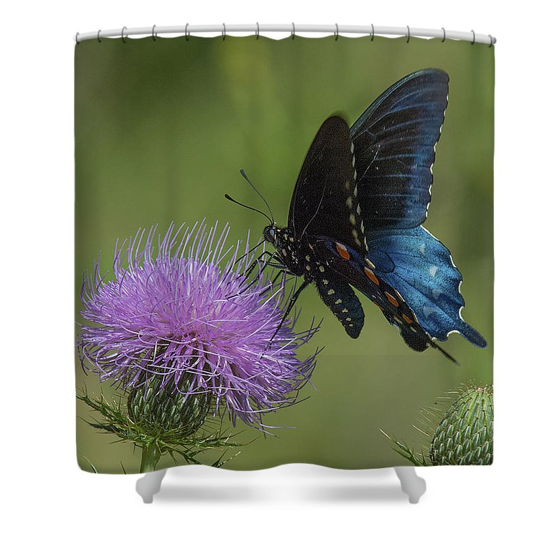 Nature Shower Curtain featuring the photograph Pipevine Swallowtail Visiting Field Thistle Din158 by Gerry Gantt