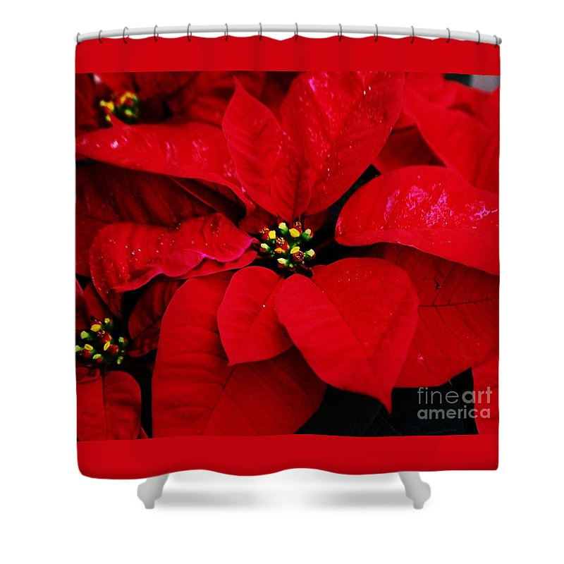 Poinsettia Art Seasonal Vision Christmas Flora Nature Vibrant Red Leaves Green Buds Holiday Theme Gift Outdoors Decoration Canvas Print Wood Print Metal Frame Poster Print Available On Greeting Cards Throw Pillows T Shirts Mugs Spiral Note Books Phone Cases Tote Bags Pouches Shower Curtains Brand New Fleece Blankets Shower Curtain featuring the photograph Poinsettia # 2 by Marcus Dagan