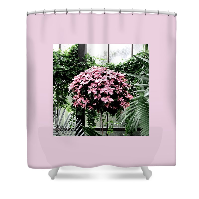 Pink Poinsettias Shower Curtain featuring the photograph Poinsettia Tree Longwood Gardens by Angela Davies