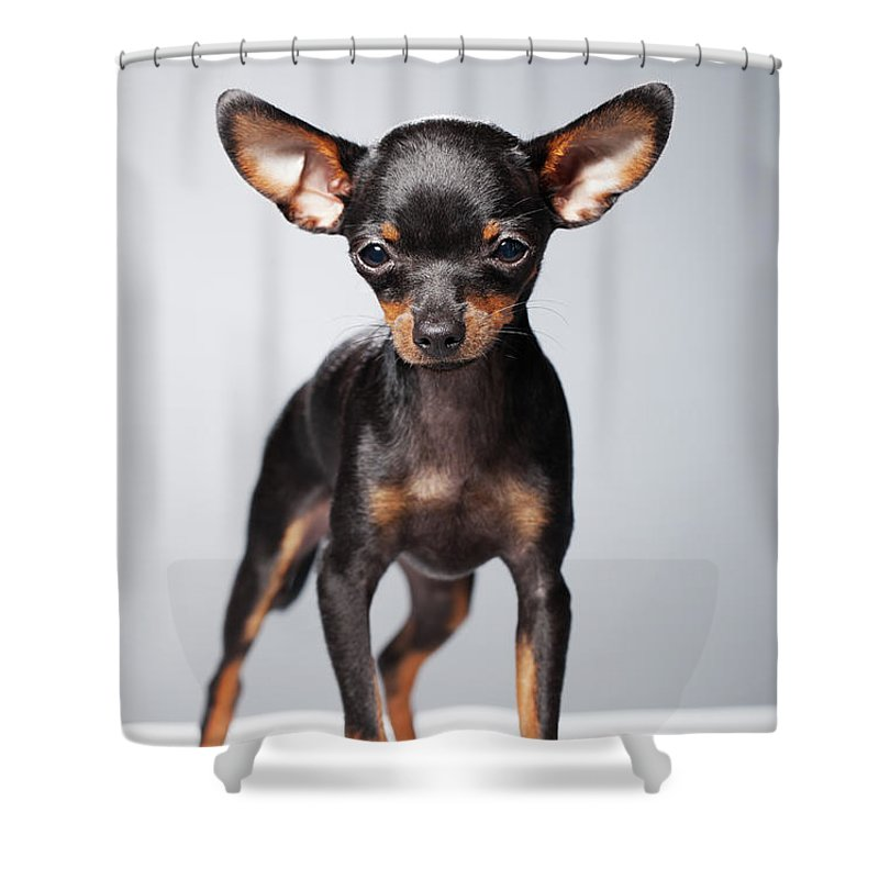 Pets Shower Curtain featuring the photograph Portrait Of A Chihuahua by Alvarez