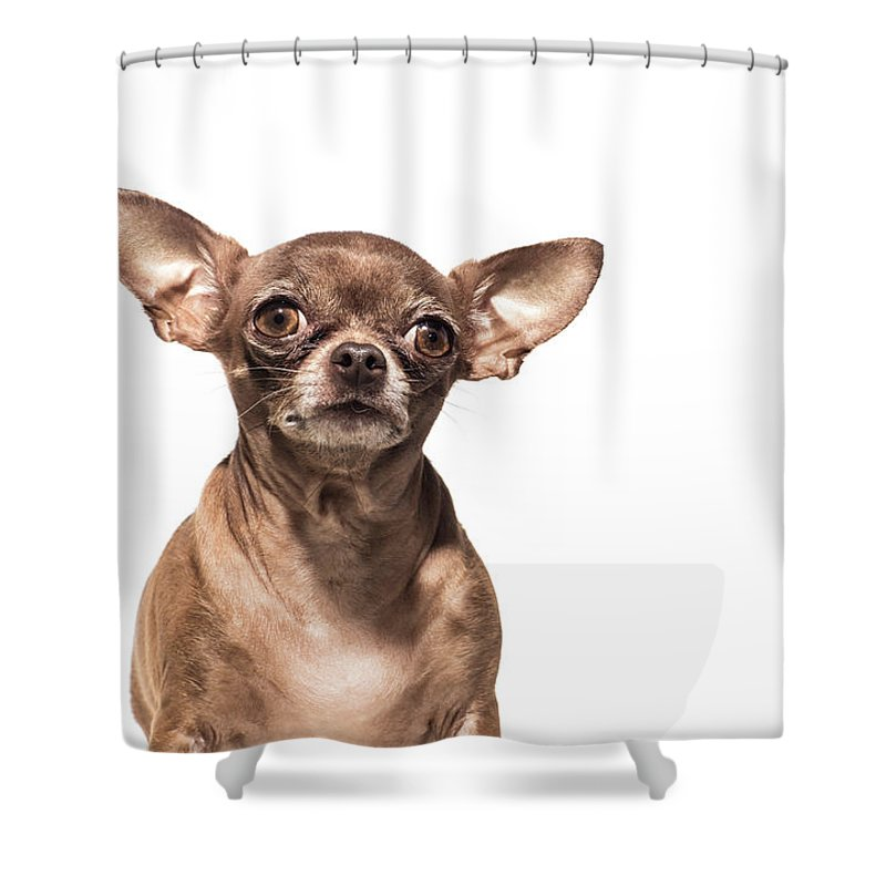 Pets Shower Curtain featuring the photograph Portrait Of A Chocolate Chihuahua - The by Amandafoundation.org