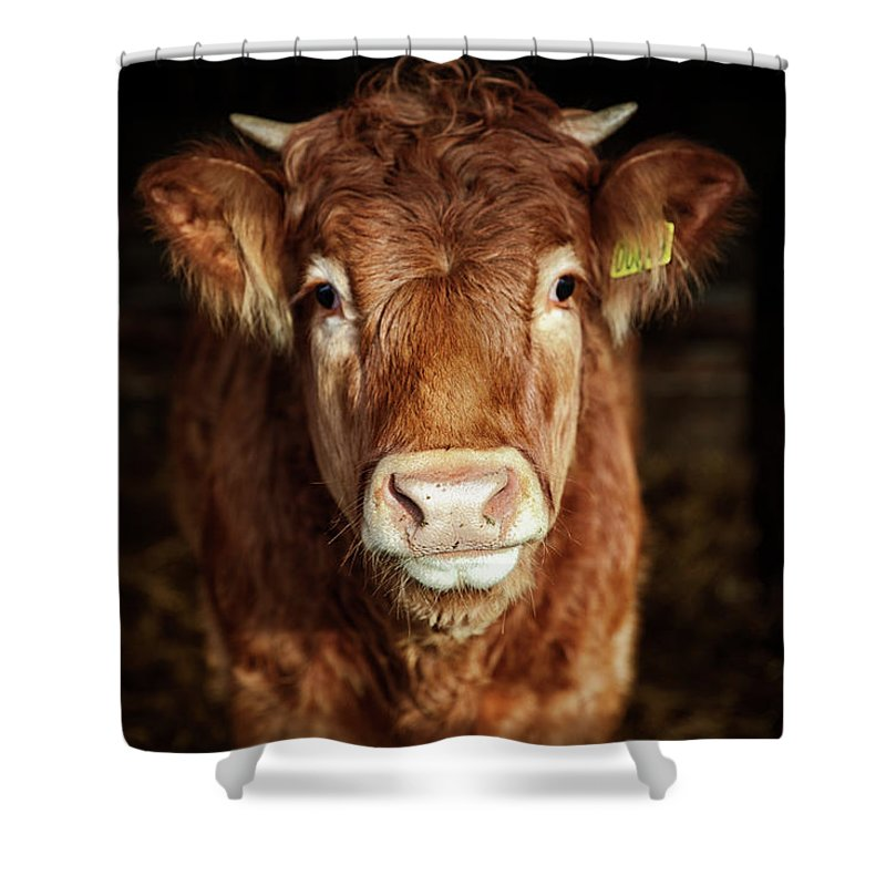Domestic Animals Shower Curtain featuring the photograph Portrait Of Young Cow by T-lorien