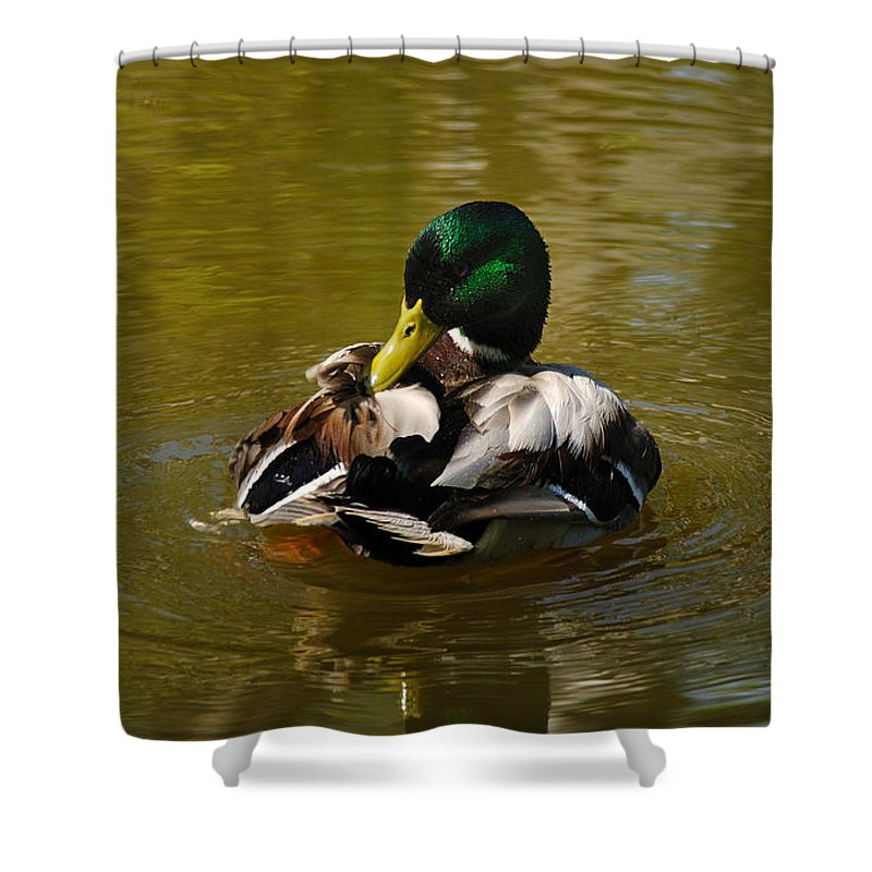 Mallard Shower Curtain featuring the photograph Preening Mallard by Vivian Christopher
