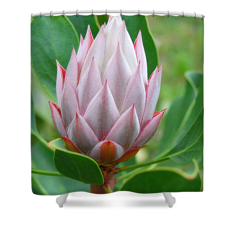 Kula Botanical Gardens Shower Curtain featuring the photograph Protea Flower Blossoming by Amy Fose