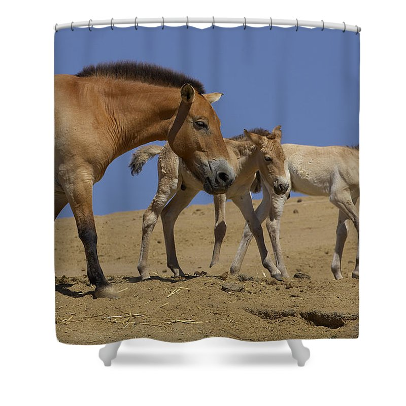 Feb0514 Shower Curtain featuring the photograph Przewalskis Horse With Two Foals by San Diego Zoo