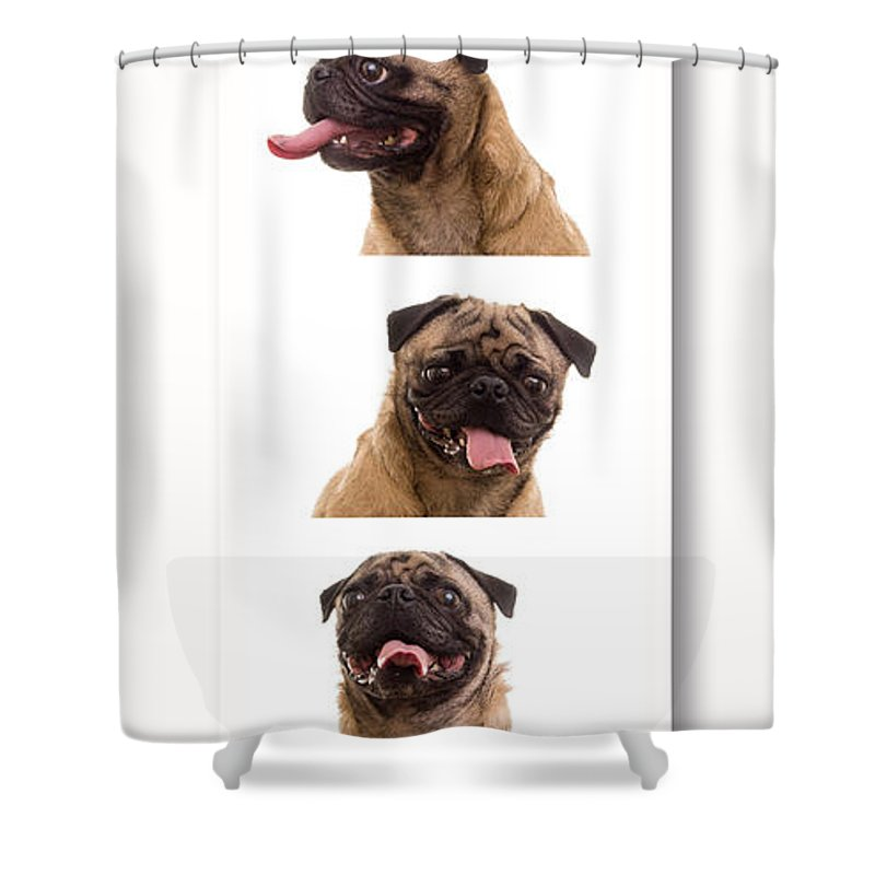 Pug Shower Curtain featuring the photograph Pug Photo Booth by Edward Fielding
