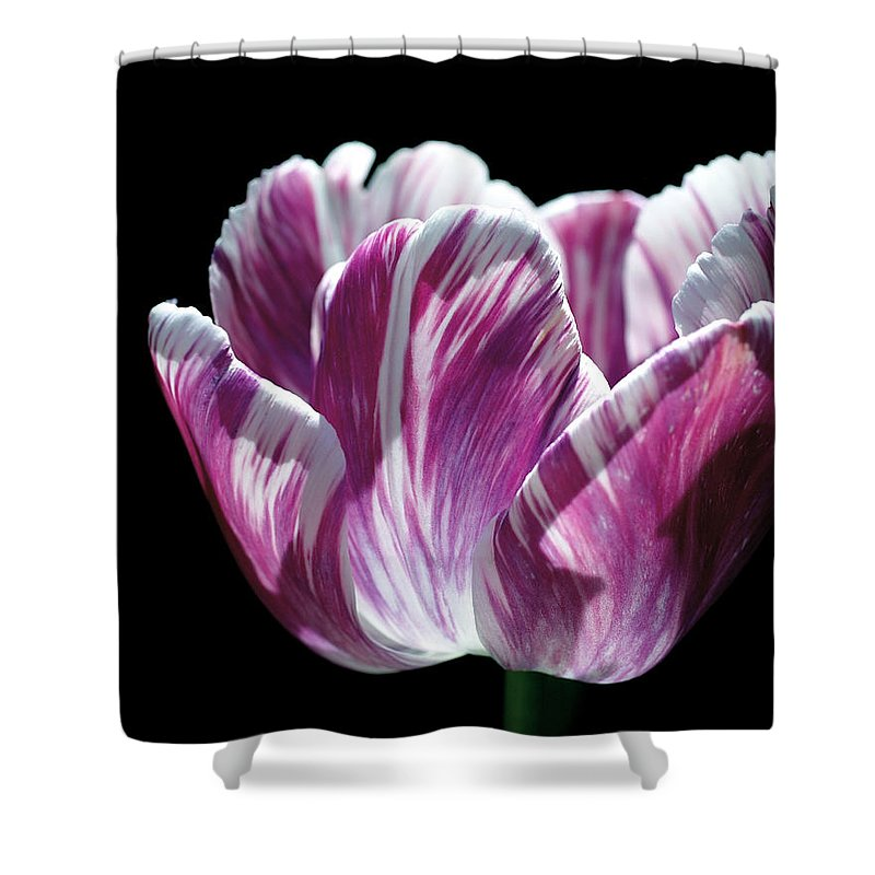 Tulip Shower Curtain Featuring The Photograph Purple And White Marbled By Rona Black